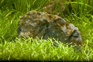 Bruine alg in aquarium