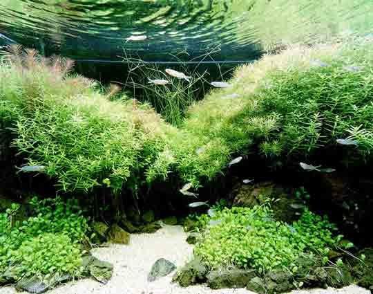 Een mooi Nature Style aquarium door Takashi Amano