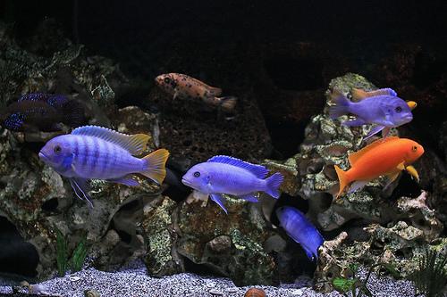 Cichliden aquarium inrichten
