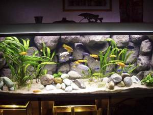 Je cichliden aquarium inrichten: tips en voorbeelden