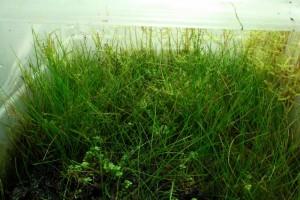 Aquariumplanten emers kweken
