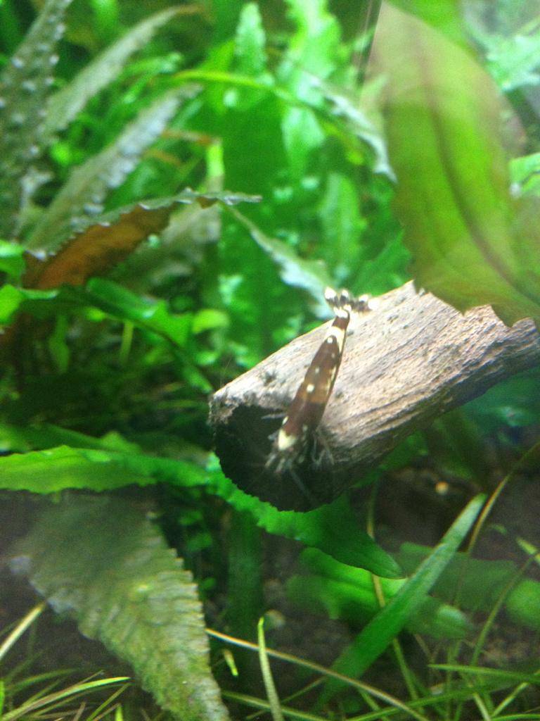 Nog een mooie garnaal in het aquarium