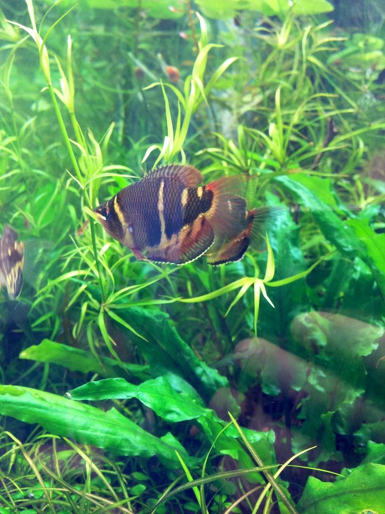 Mooie goerami in het aquarium