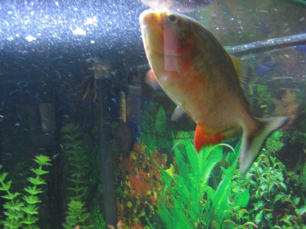 Aquarium vissen happen naar lucht