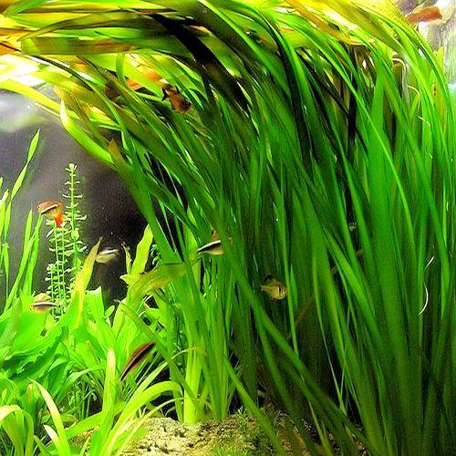 vallisneria als drijfplant