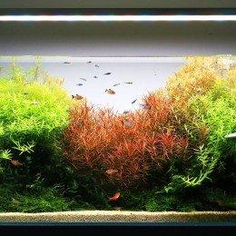 Rode aquariumplanten? 3 tips om ze ècht bloedrood te krijgen