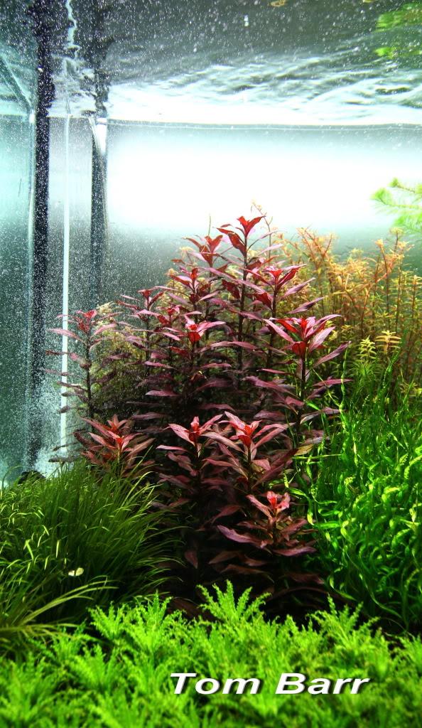Rode aquariumplanten sterke verlichting