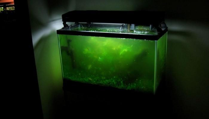 zweefalg aquarium bestrijden en verwijderen