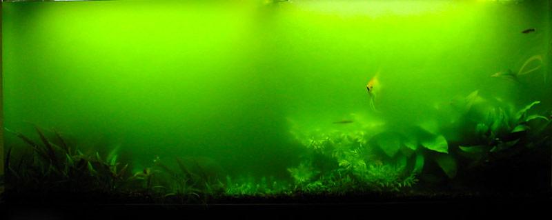 zweefalg en groen water aquarium