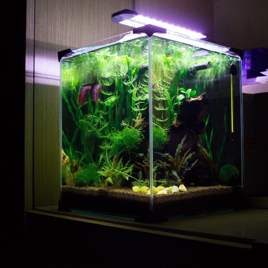 De Betta vis: een uitgebreide introductie | 5 | AquascapingBlog