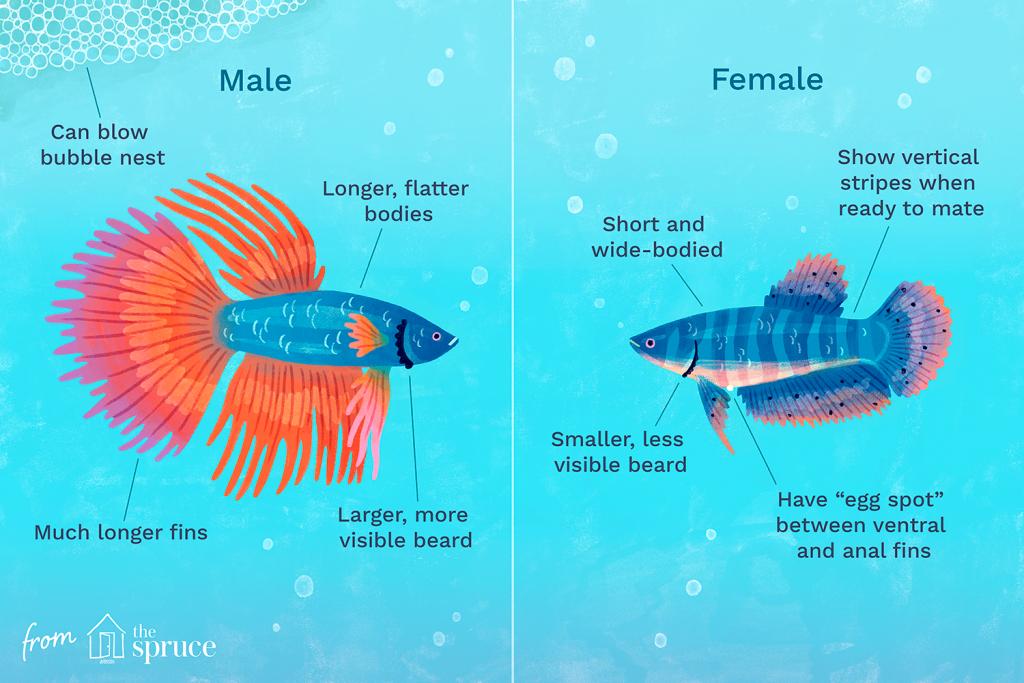 De Betta vis: een uitgebreide introductie | 2 | AquascapingBlog