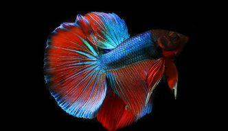 betta aquarium introductie