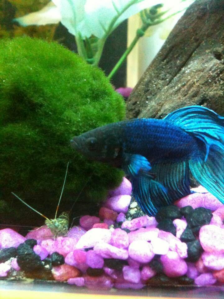 De Betta vis: een uitgebreide introductie | 4 | AquascapingBlog